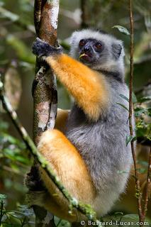 Golden Diademed Sifaka