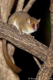 Mouse Lemur at Night
