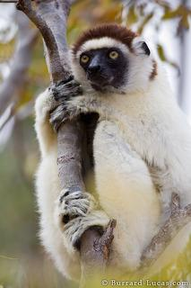 Sifaka Clinging
