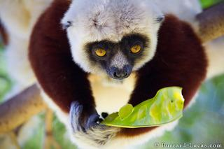 Sifaka Eating