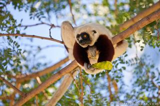Sifaka Eating Seeds