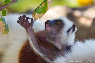 Sifaka Reaching