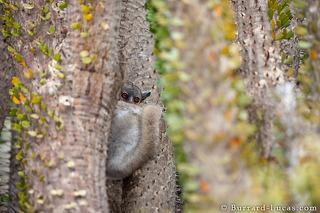 White-footed Sportive Lemur