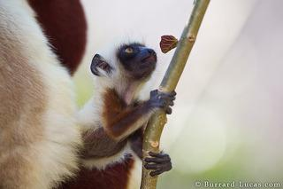 Young Coquerels Sifaka
